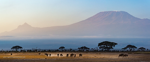 Blue wildebeest, also called the common wildebeest, white-bearded wildebeest or brindled gnu (Connochaetes taurinus) with Mount (Mt) Kilimanjaro and Mount (MT) Mawenzi on the left  in the background. Amboseli National Park. Kenya.