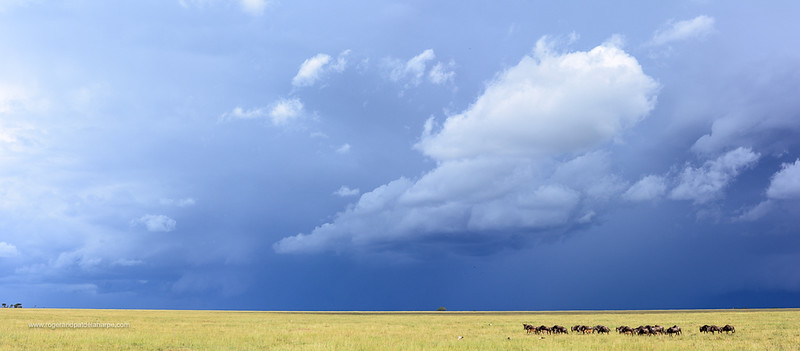 Blue wildebeest or common wildebeest, white-bearded wildebeest or brindled gnu (Connochaetes taurinus and approaching storm. Serengeti National Park. Tanzania