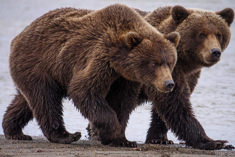 Coastal brown bear, also known as Grizzly Bear (Ursus Arctos). South Central Alaska. United States of America (USA).