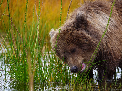 Coastal brown bear, also known as Grizzly Bear (Ursus Arctos) cub feeding on grass. South Central Alaska. United States of America (USA).