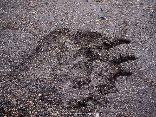 Coastal brown bear, also known as Grizzly Bear (Ursus Arctos) footprint. South Central Alaska. United States of America (USA).