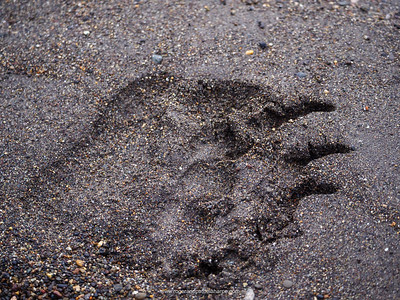 Coastal brown bear, also know as Grizzly Bear (Ursus Arctos) footprint. South Central Alaska. United States of America (USA).