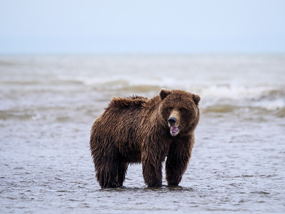 Coastal brown bear, also know as Grizzly Bear (Ursus Arctos). South Central Alaska. United States of America (USA).