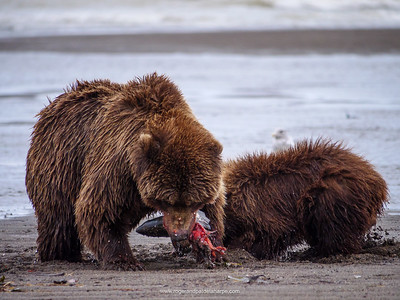 Coastal brown bear, also known as Grizzly Bear (Ursus Arctos) female and cub feeding on a silver salmon or coho salmon (Oncorhynchus kisutch). South Central Alaska. United States of America (USA).