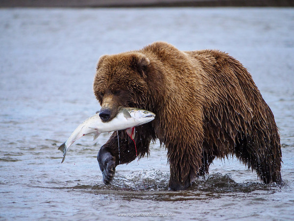 Coastal brown bear, also known as Grizzly Bear (Ursus Arctos) with a silver salmon or coho salmon (Oncorhynchus kisutch) it has caught. Cook Inlet.  South Central Alaska. United States of America (USA).