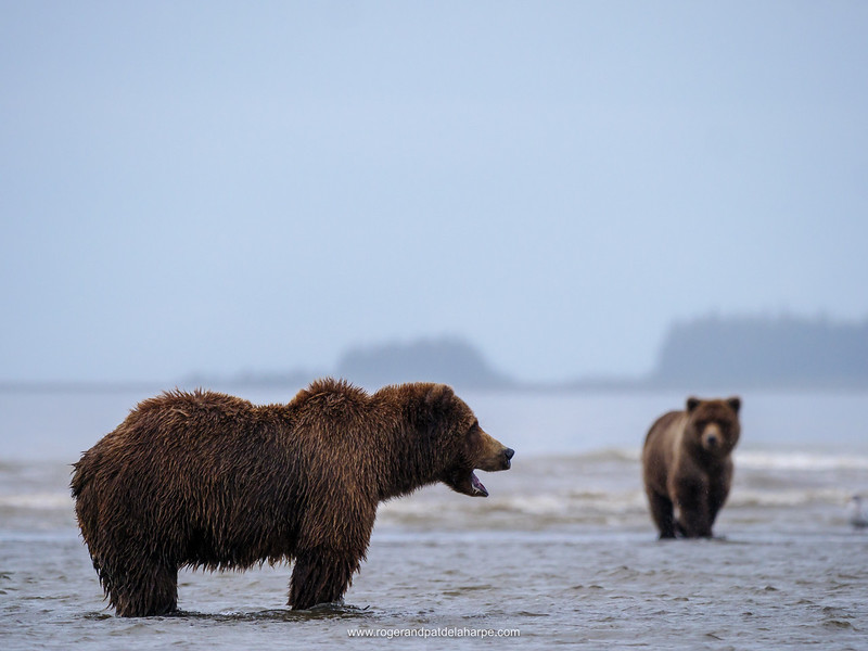 Coastal brown bear, also known as Grizzly Bear (Ursus Arctos). Cook Inlet. South Central Alaska. United States of America (USA).