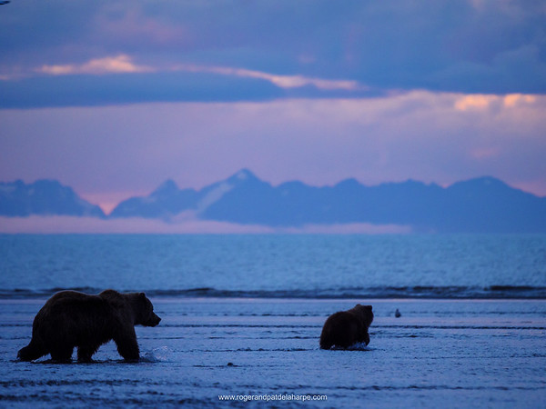 Coastal brown bear, also known as Grizzly Bear (Ursus Arctos) female and cub. Cook Inlet. South Central Alaska. United States of America (USA).