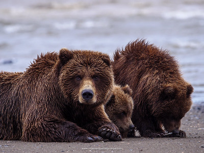 Coastal brown bear, also known as Grizzly Bear (Ursus Arctos) female and cubs. South Central Alaska. United States of America (USA).