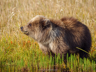Coastal brown bear, also known as Grizzly Bear (Ursus Arctos) cub. South feeding on grass. Central Alaska. United States of America (USA).