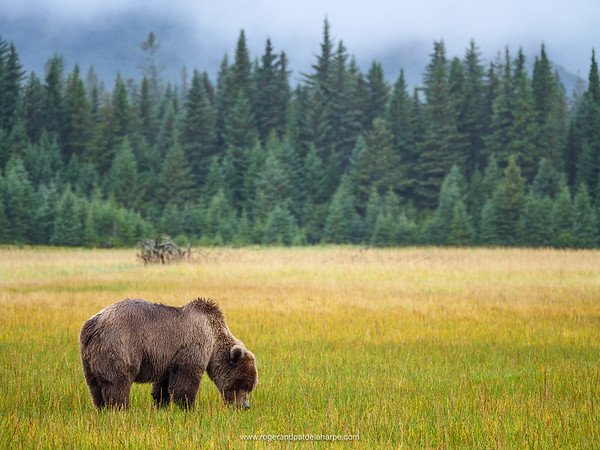 Coastal brown bear, also known as Grizzly Bear (Ursus Arctos) and Douglas fir also known as Douglas-fir and Oregon pine (Pseudotsuga menziesii). South Central Alaska. United States of America (USA).