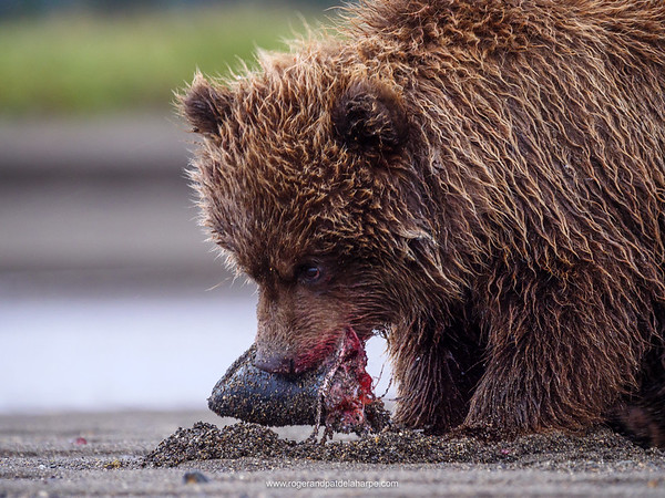 Coastal brown bear, also known as Grizzly Bear (Ursus Arctos) cub feeding on a silver salmon or coho salmon (Oncorhynchus kisutch). South Central Alaska. United States of America (USA).