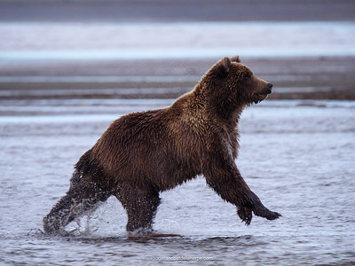 Coastal brown bear, also known as Grizzly Bear (Ursus Arctos) chasing silver salmon or coho salmon (Oncorhynchus kisutch). Cook Inlet. South Central Alaska. United States of America (USA).