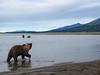 Coastal brown bear, also know as Grizzly Bear (Ursus Arctos). South Central Alaska. United States of America (USA).