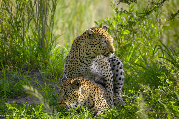 Leopards (Panthera pardus) mating. Mala Mala Game Reserve. Mpumalanga. South Africa