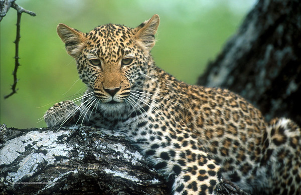 Leopard in tree.  MalaMala Game Reserve. Mpumalanga. South Africa