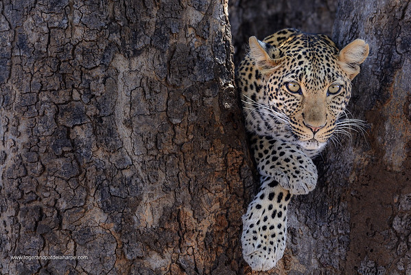 African leopard (Panthera pardus pardus) female in a tree. Ruaha National Park. Tanzania.