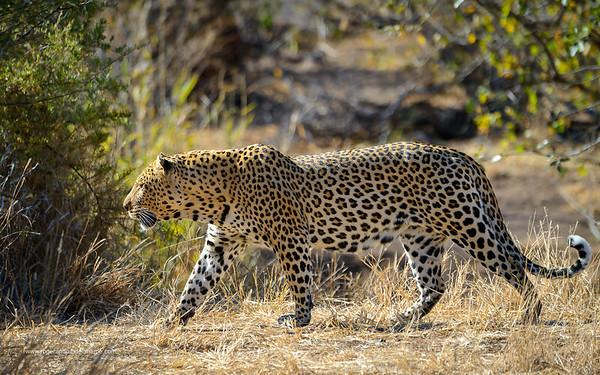 Leopard (Panthera pardus). Mashatu Game Reserve. Northern Tuli Game Reserve.  Botswana