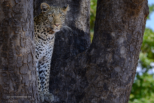 African leopard (Panthera pardus pardus) female in a tree. Ruaha National Park. Tanzania.