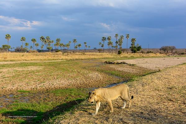 Masai lion or East African lion (Panthera leo nubica syn. Panthera leo massaica). Ruaha National Park and Lala (iLala) palm (Hyphaene coriacea). Tanzania