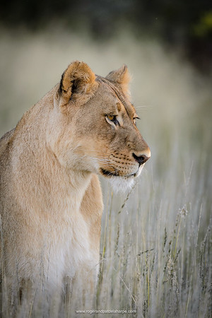 Lion (panthera leo). South Africa