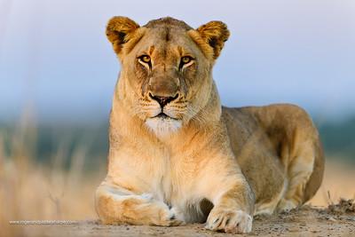 Lion (Panthera leo). Phinda / Munyawana / Zuka Game Reserve.  KwaZulu Natal. South Africa