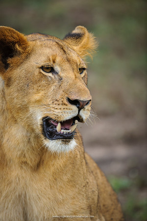 Lion (panthera leo) juvenile. South Africa