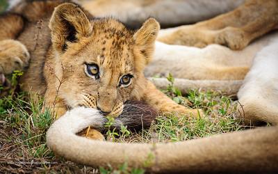 Lion (Panthera leo) cub playing with adult's tail. MalaMala (Mala Mala) Game Reserve. Mpumlanga. South Africa