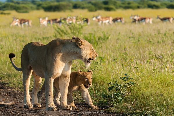 Lion (Panthera leo) and cub with Springbok (Antidorcas marsupialis) herd. Madikwe Game Reserve. North West Province. South Africa