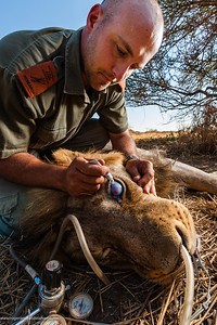 Lion (Panthera leo) with an injured eye. Andrei Snyman, researcher treats the eye. The eye has had a traumatic event, perhaps a claw/thorn causing a penetrating corneal lesion which has resulted in a pan-opthamia (generalized infection of the eye) with subsequent migration of healing cells and fluid into the cornea (blue color) and vascularization ( blood vessel infiltration) which is an attempt by the body to heal the lesion - unfortunately it has also resulted in a glaucoma (swelling of the eye) - the outcome of which is - even if the cornea heals he will probably end up permanently blind with the eye eventually collapsing and shriveling up. Mashatu Game Reserve. Northern Tuli Game Reserve.  Botswana