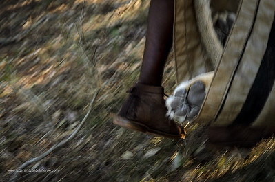 Lion (Panthera leo) capture for translocation. Phinda / Munyawana / Zuka Game Reserve.  KwaZulu Natal. South Africa