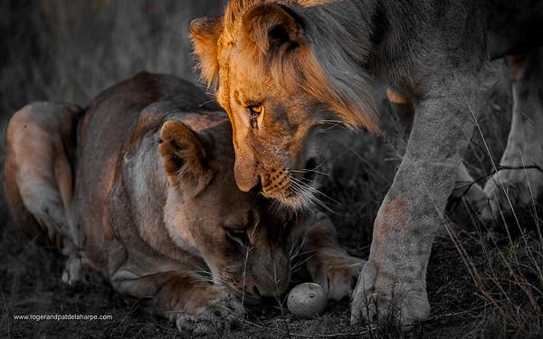 Lion (Panthera leo) playing with a Black Monkey Orange (Strychnos madascascariensis) fruit. Phinda / Munyawana / Zuka Game Reserve.  KwaZulu Natal. South Africa
