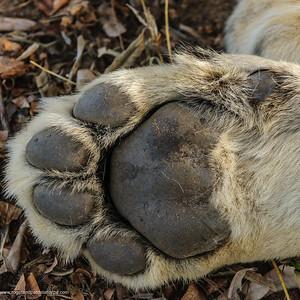 Lion (Panthera leo) front paw detail. Phinda / Munyawana / Zuka Game Reserve.  KwaZulu Natal. South Africa