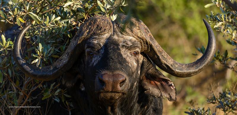 Wildlife Photographs - Buffalo