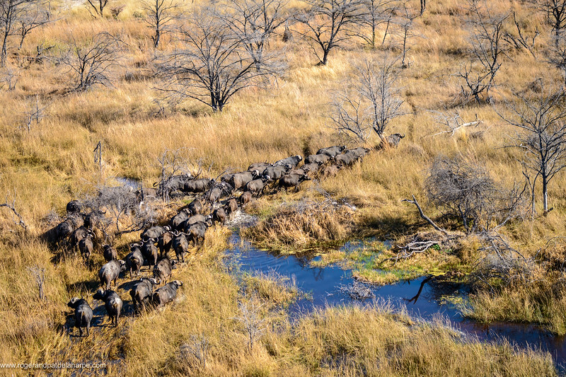 Aerial view of African buffalo or Cape buffalo (Syncerus caffer). Okavango Delta. Botswana