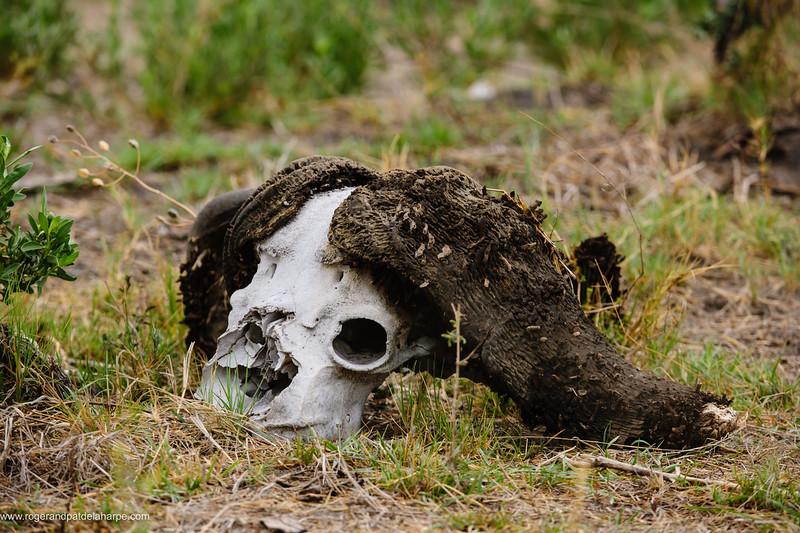 African buffalo or Cape buffalo (Syncerus caffer) skull. Mapula Lodge. Okavango Delta. Botswana
