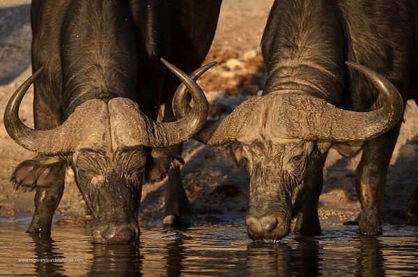 African buffalo or Cape buffalo (Syncerus caffer) portrait drinking. Botswana