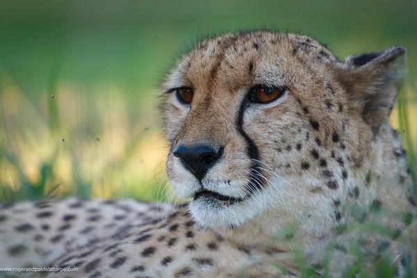 Cheetah (Acinonyx jubatus). KwaZulu Natal. South Africa