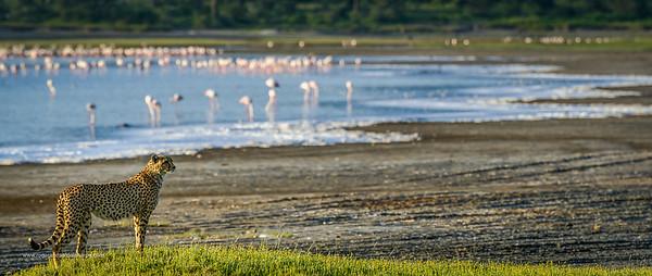 Cheetah (Acinonyx jubatus) with greater Flamingo (Phoenicopterus Roseus) in Lake Ndutu in background. Ngorongoro Conservation Area (NCA). Tanzania