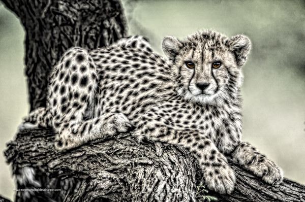 Wildlife Photographs - Cheetah
