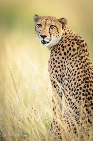 Cheetah (Acinonyx jubatus). South Africa