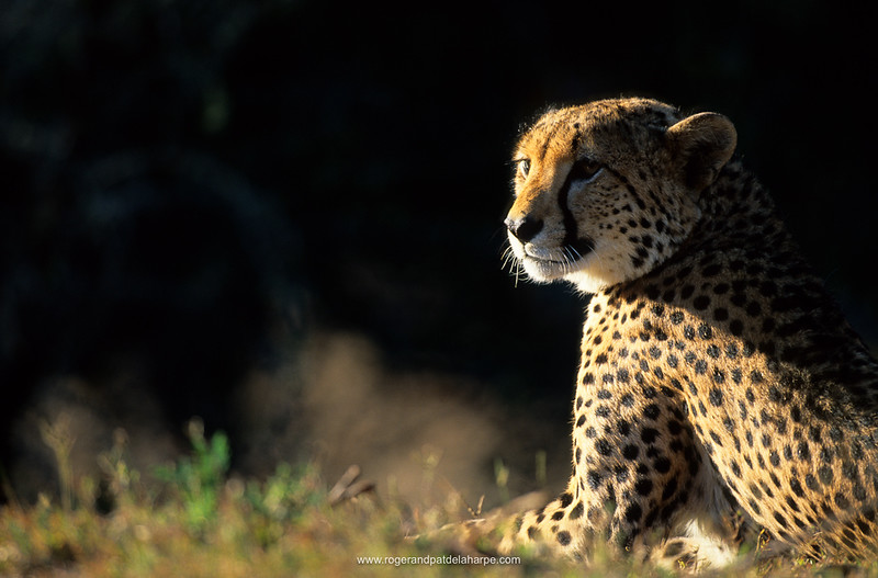 Cheetah. Phinda Resource reserve. KwaZulu Natal. South Africa