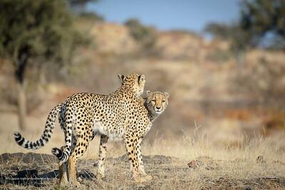 Cheetah (Acinonyx jubatus) walking. Mashatu Game Reserve. Northern Tuli Game Reserve.  Botswana