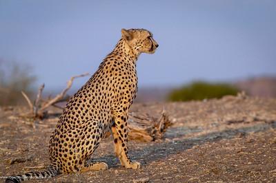 Cheetah (Acinonyx jubatus). Mashatu. Northern Tuli Game Reserve. Botswana