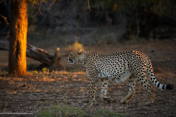 Cheetah (Acinonyx jubatus) . Hluhluwe Imfolozi Park. KwaZulu Natal. South Africa