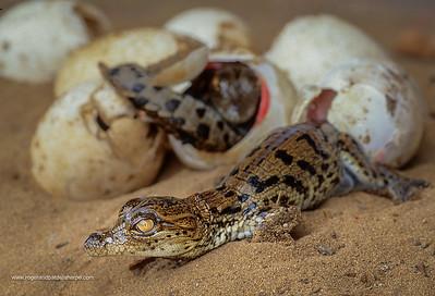 Nile Crocodile (Crocodylus niloticus) hatchling. St Lucia, Kwa-Zulu Natal. South Africa.