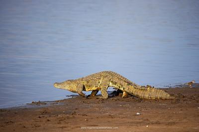 Nile Crocodile (Crocodylus niloticus) walking to water. Ndumo Game Reserve. KwaZulu Natal. South Africa