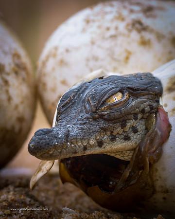 Nile Crocodile (Crocodylus niloticus) emerging from egg. KwaZulu Natal. South Africa.