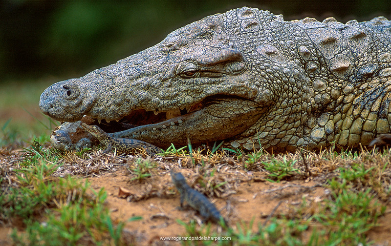 Nile Crocodile collecting hatchlings to carry tham to water. Greater St Lucia Wetland Park. KwaZulu-Natal. South Africa.