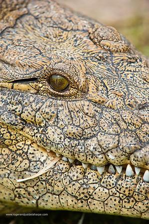 Nile Crocodile (Crocodylus niloticus). KwaZulu Natal. South Africa