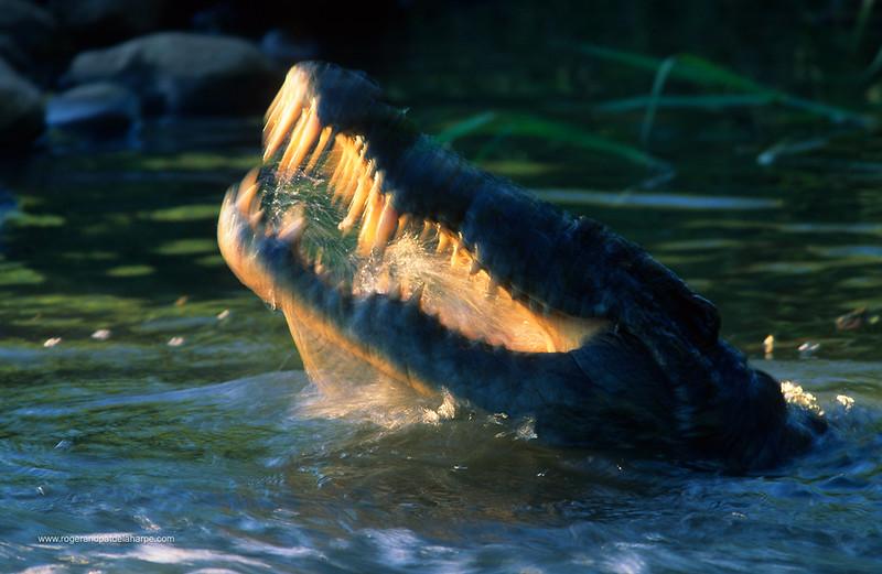 Nile Crocodile (Crocodylus niloticus). Feeding. Ndumo Game Reserve. KwaZulu-Natal. South Africa.